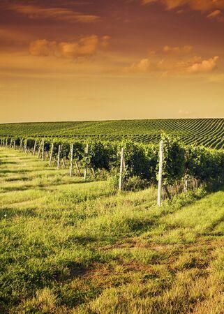 Tarde vista de los viñedos Foto de archivo - 12245522