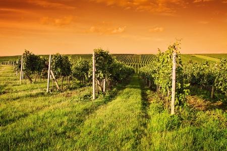 Tarde vista de los vi�edos en Moravia Foto de archivo
