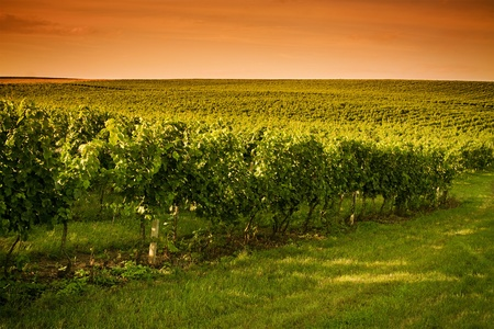 Evening view of the vineyards in Moravia  photo
