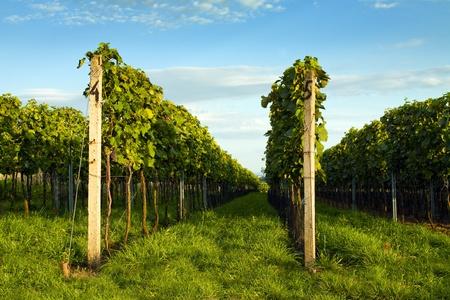 Beautiful views of green vineyards