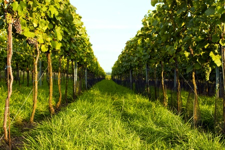 Beautiful views of green vineyards  photo