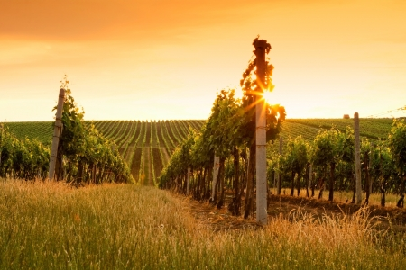 Evening view of the vineyards at sunset Stock Photo