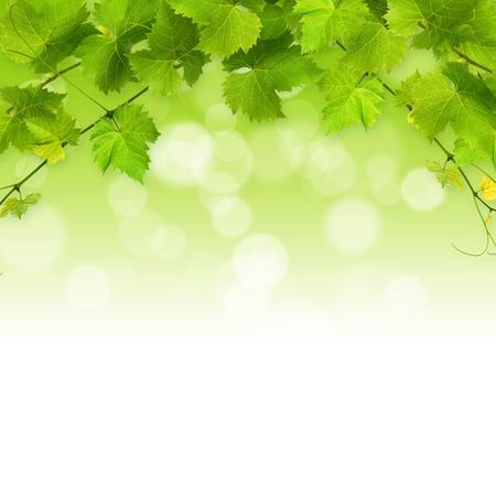 on the vine: Racimo de la vid hojas verdes sobre un fondo blanco