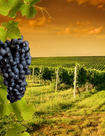 Vineyard: Tarde vista de los viñedos al atardecer
