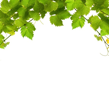 Bunch of green vine leaves on a white background
