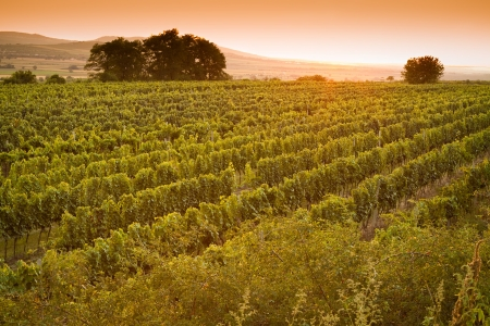 Vineyards at sunset in a beautiful summer evening photo