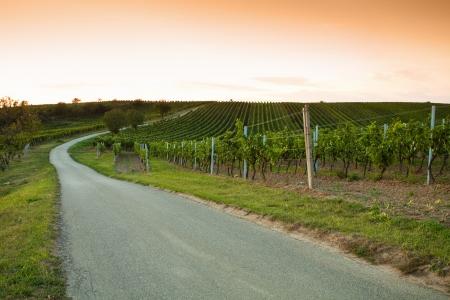 grape field: Vineyards at sunset in a beautiful summer evening