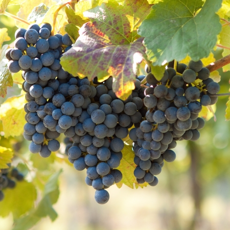 Bunch of blue grapes on vine photo
