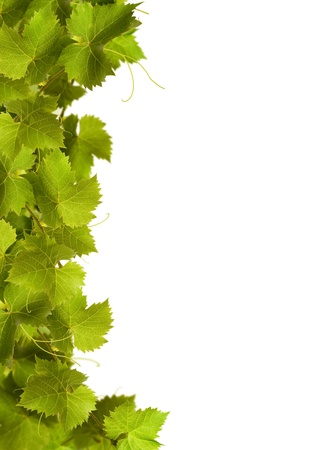 Collage de las hojas de la vid sobre fondo blanco