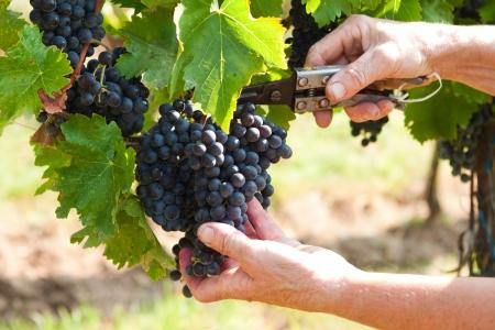 Manos femeninas que cosecha las uvas en los d�as de oto�o