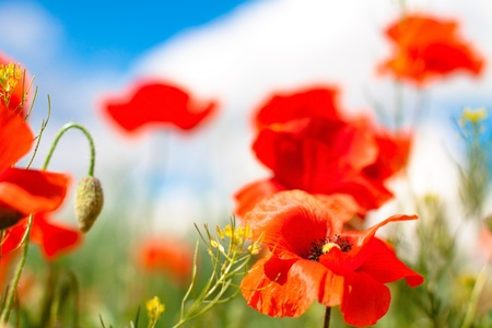 Flowers poppy on a field in sunny day photo