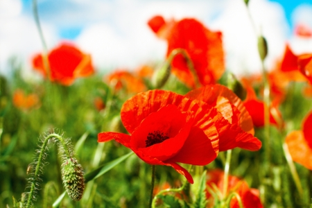 poppy leaf: Flowers poppy on a field in sunny day Stock Photo