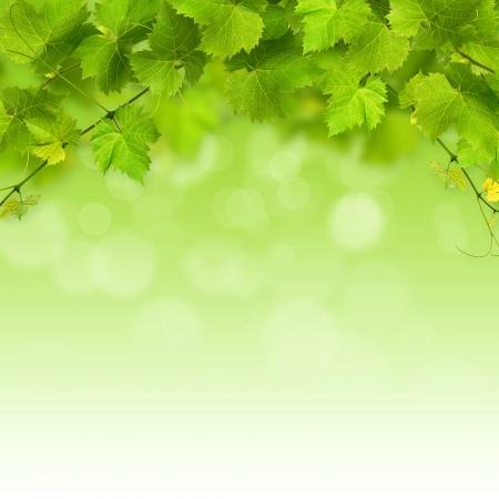 vid: Racimo de la vid hojas verdes sobre un fondo blanco