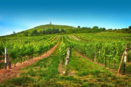 Beautiful view of the vineyards in summer day photo