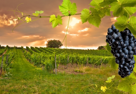 grape field: Evening view of the vineyards at sunset Stock Photo