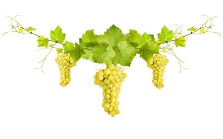 Bouquet de feuilles et les raisins de vigne verte vigne