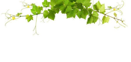 Bunch of green vine leaves and grapes vine photo