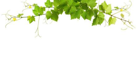 Stelletje groene wijnbladeren en druiven wijnstokken