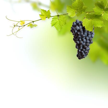 wijnbladeren: Stelletje groene wijnbladeren en druiven wijnstokken