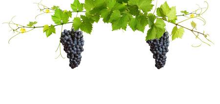 Manojo de hojas de vid verdes y las uvas de la vid