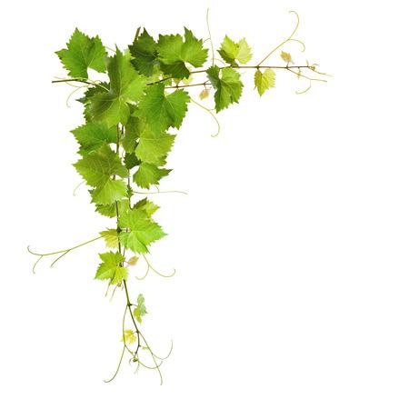 포도 나무의 콜라주 흰색 배경에 나뭇잎