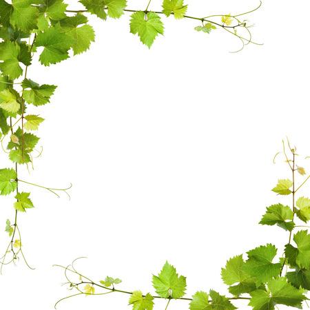 포도 수확: 포도 나무의 콜라주 흰색 배경에 나뭇잎
