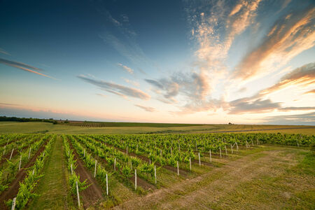 australia farm: Evening view of the vineyards