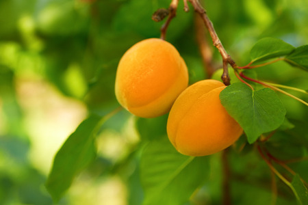 Several ripe apricots on the branch of an apricot tree