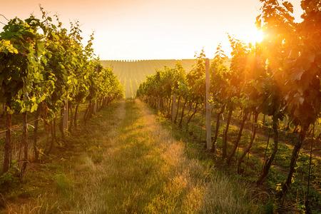 Nascer do sol bonito sobre um vinhedo