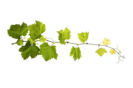 ぶどうの枝の葉に孤立した白い背景