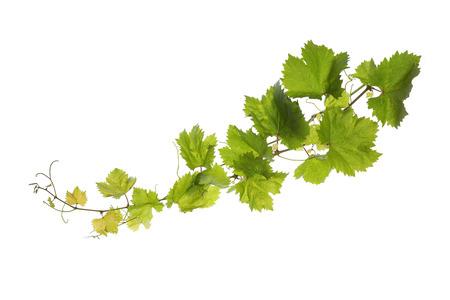 parra: Rama de hojas de vid aislados sobre fondo blanco Foto de archivo