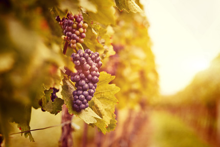 Vineyards at sunset in autumn harvest. Ripe grapes in fall. Toned