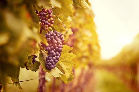 Vineyards at sunset in autumn harvest. Ripe grapes in fall. Toned Reklamní fotografie - 31060709