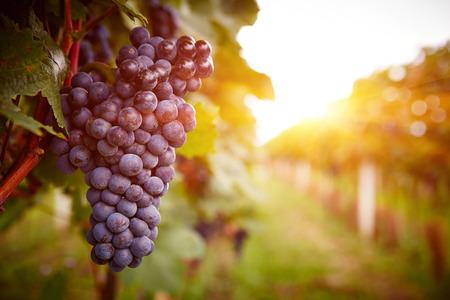 Viñedos en la puesta de sol en la cosecha de otoño. Las uvas maduras en la caída. Entonado