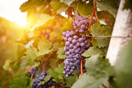 Vineyards at sunset in autumn harvest. Ripe grapes in fall. Toned Reklamní fotografie - 31023298