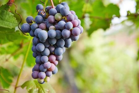 grape fruit: Branch of blue grapes on vine in vineyard
