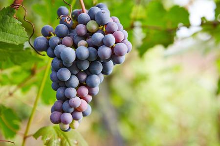 Branch of blue grapes on vine in vineyard