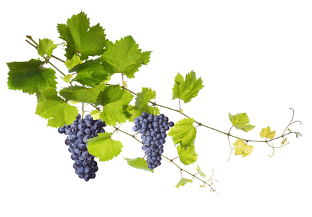 grape: Collage of vine leaves and blue grapes Stock Photo