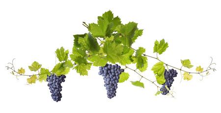 grapes: Rama de hojas de vid aislados sobre fondo blanco Foto de archivo