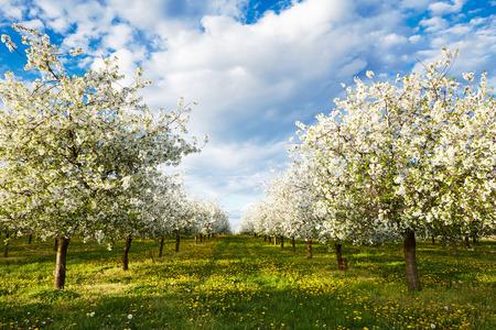 Cherry bloeiende boomgaard met paardebloemen in het voorjaar