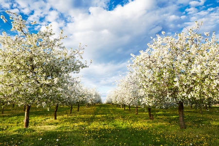 Cherry blooming orchard with dandelions in spring Stock Photo