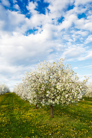 Cherry blooming orchard with dandelions in spring photo