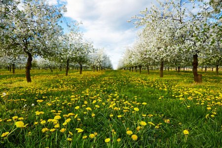 Dandelions in spring in cherry blooming orchard photo