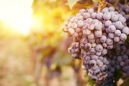 racimos de uvas: Vi�edos en la puesta del sol en la cosecha de oto�o, entonada