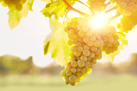 Bunch of grapes in vineyards at sunset