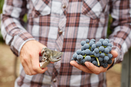 grapes wine: Farmers hand with freshly harvested blue grapes.