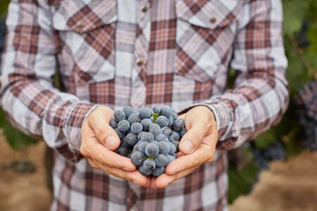 organic plants: Farmers hands with freshly harvested blue grapes. Grapes harvest. Stock Photo