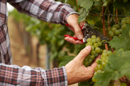 crop harvest: Farmers hands holding garden secateurs and with freshly harvested white grapes