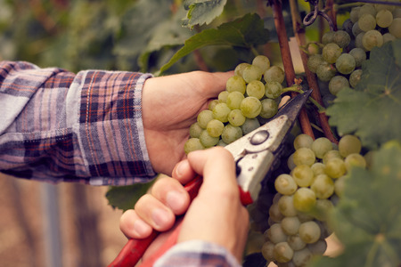 harvest: Male hands with garden secateurs and freshly green grapes at harvest, toned