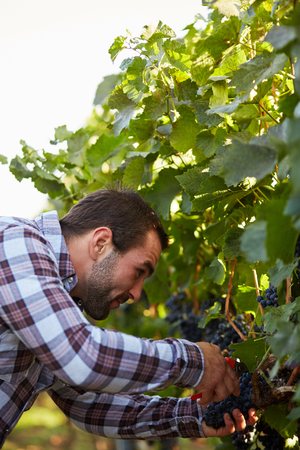 winemaker: Young winemaker harvesting blue grapes in vineyard Stock Photo